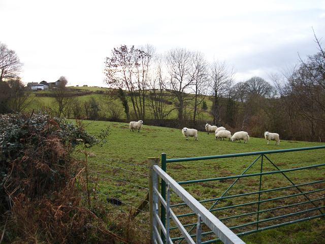 Sheep at Cefn-Hybol