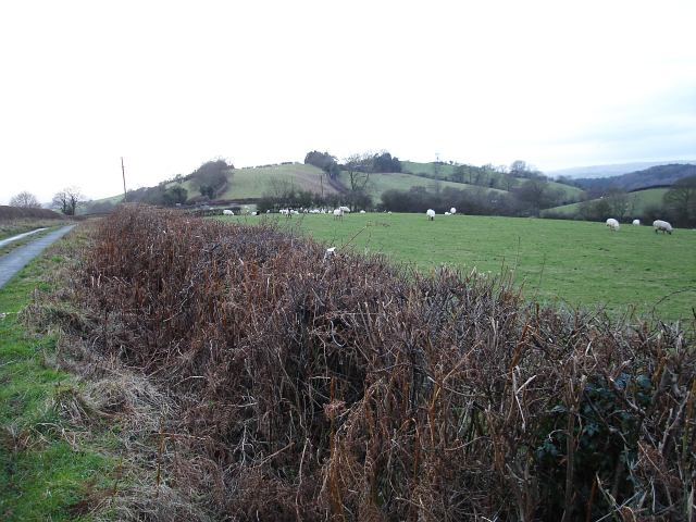 Sheep above Hengwm Plantation