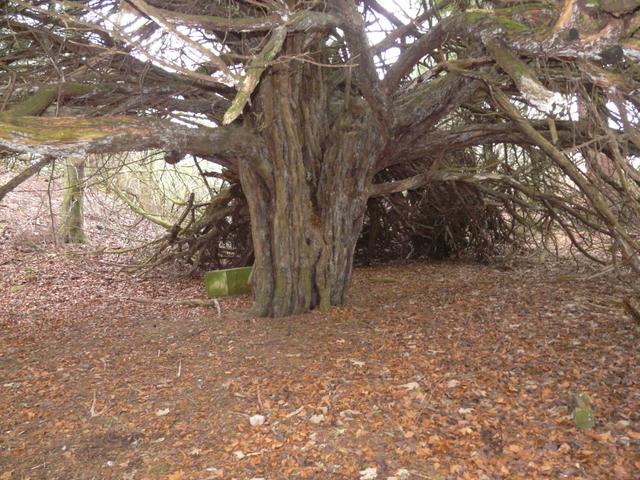 Yew tree, at Tarbat House