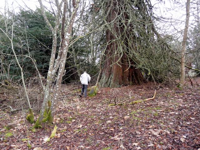 Sequoia (Wellingtonia) tree, Tarbat House
