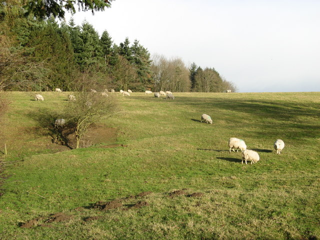 Sheep and Pasture