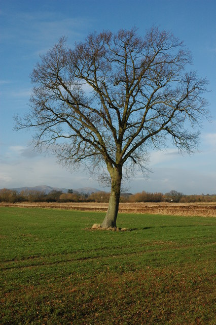 Oak tree near Baughton