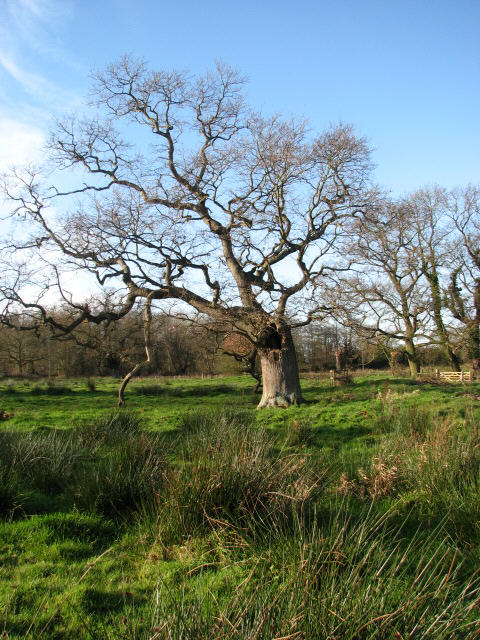 Old trees growing beside the River Bure