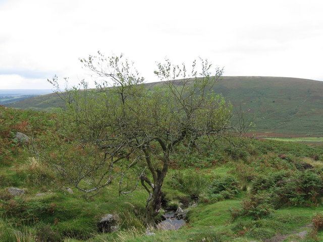 Stunted tree on the path from Grimspound to Firth Bridge