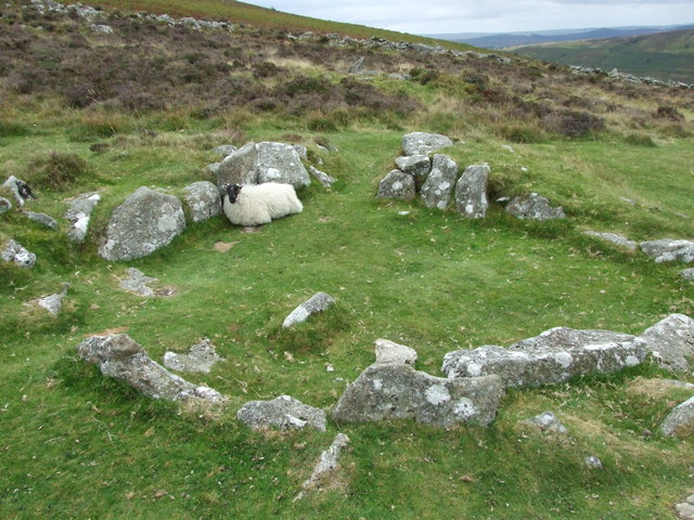 A Dartmoor Sheep shelters in a Grimspound Hut Circle