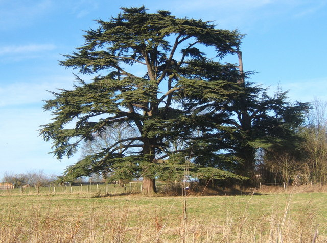 Large cedars near Barking church