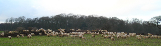 Sheep on a dungpile, Ox Close Lane, Whixley