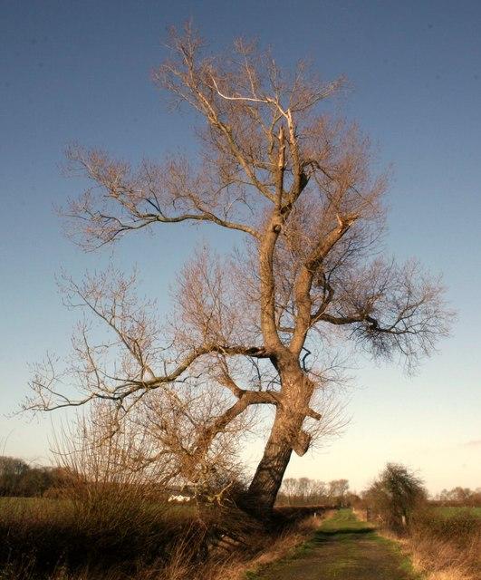 Magnificent Black Popular tree on Moore Lane