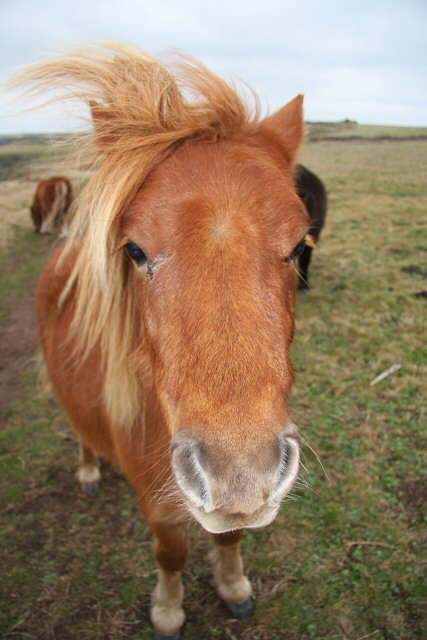 Shetland pony at the Lizard National Nature Reserve