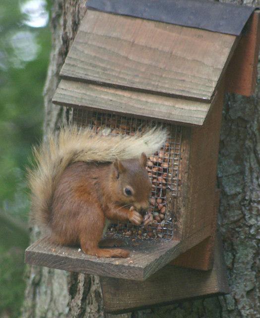 Red Squirrel (Sciurus vulgaris), Loch of the Lowes