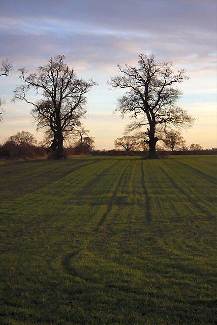 Trees in Little Saxham