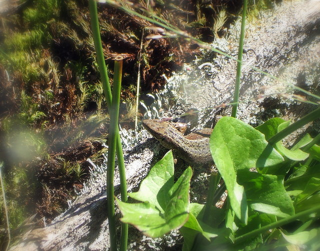Sand Lizard in the Reptile Centre, New Forest