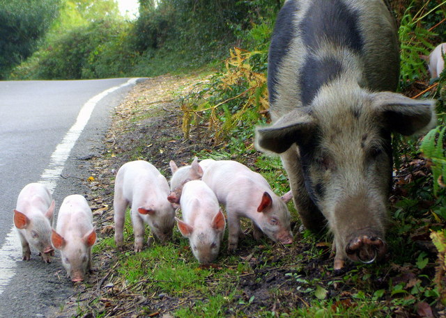 Pigs grazing on the road at Bramshaw