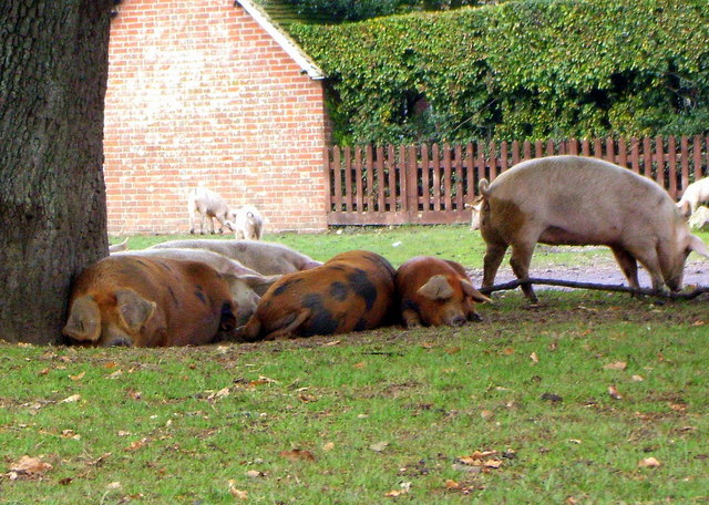 Snoozing Pigs by the Roadside at Bramshaw