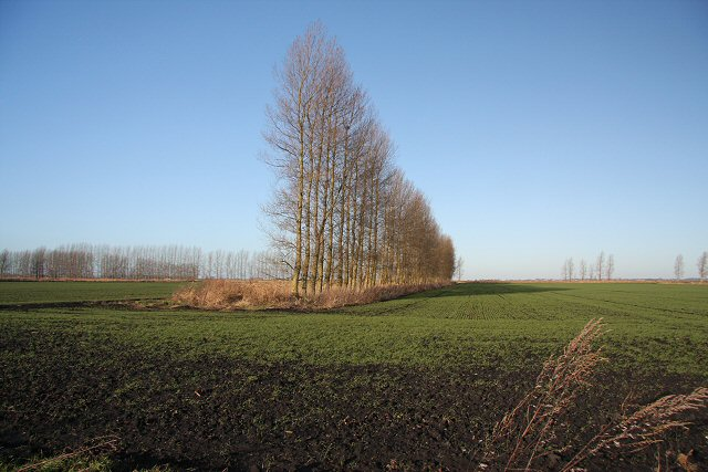 More poplars at Feltwell Anchor