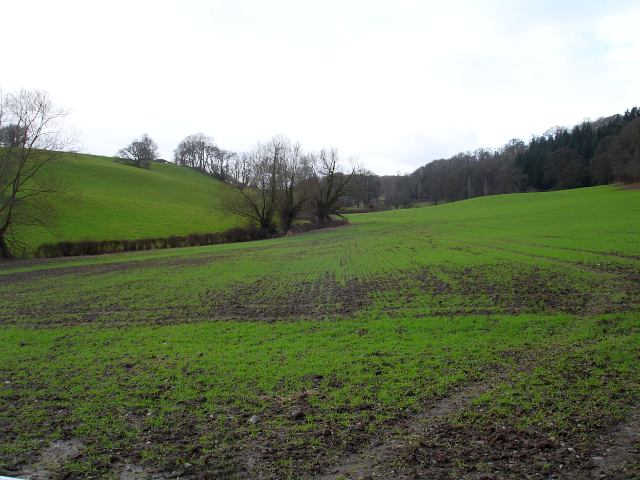 Winter wheat beside the road to Gwern-goch