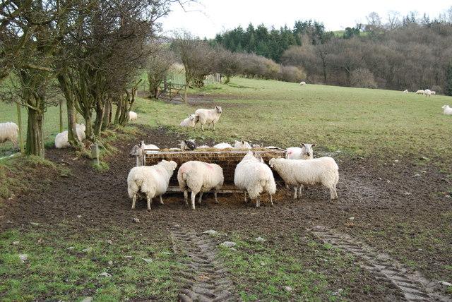 Ewes feeding on haylage