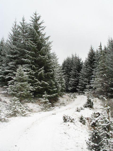 Spruce plantation above Loch Eil