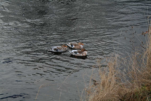 Ducks on the Wharfe