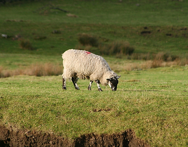Sheep by the Wharfe (1)