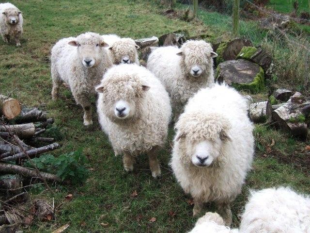 Longwool sheep, Heronslake