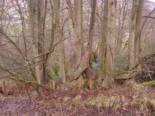 Overgrown pleached beech hedge