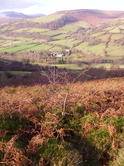 Young hawthorn on the mountain