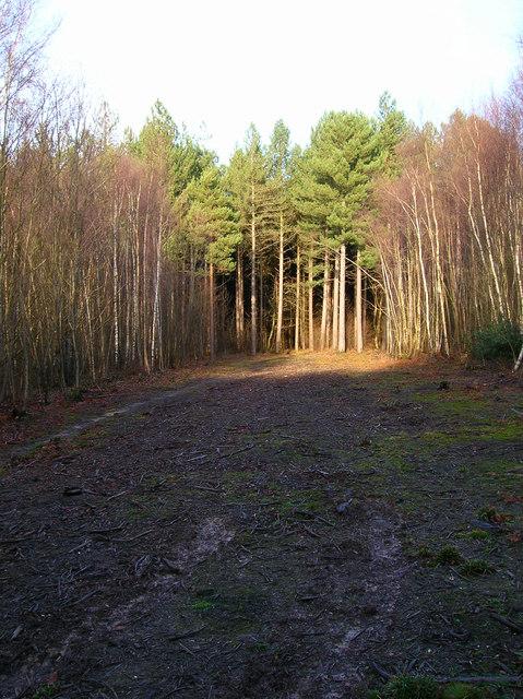 Birches and Firs, Birchden Wood