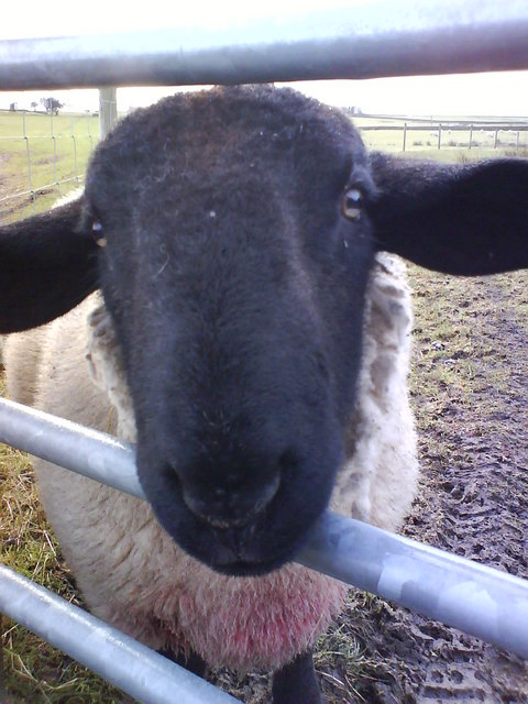 Looking Sheepish.