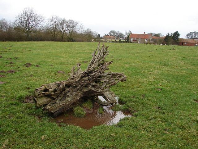 Tree Stump near Sixhills