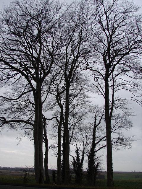 Clump of Trees at A16 Near Walmsgate