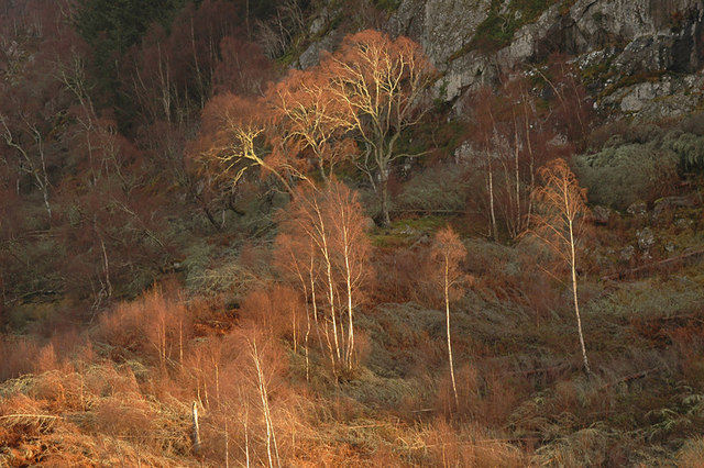 Birch trees on the slopes of Dun Dearduil
