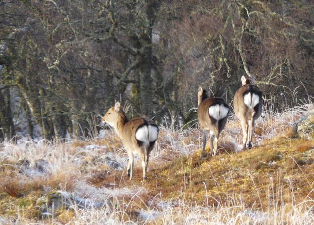 Deer departing, Glen Cassley
