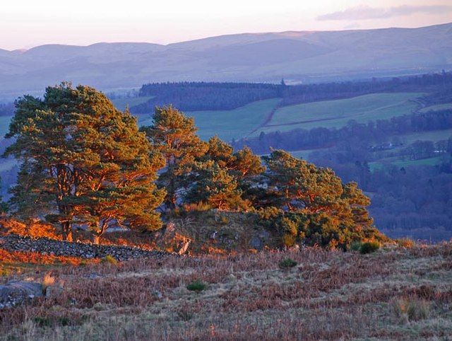 Scots Pines on Mount Pleasant at sunset