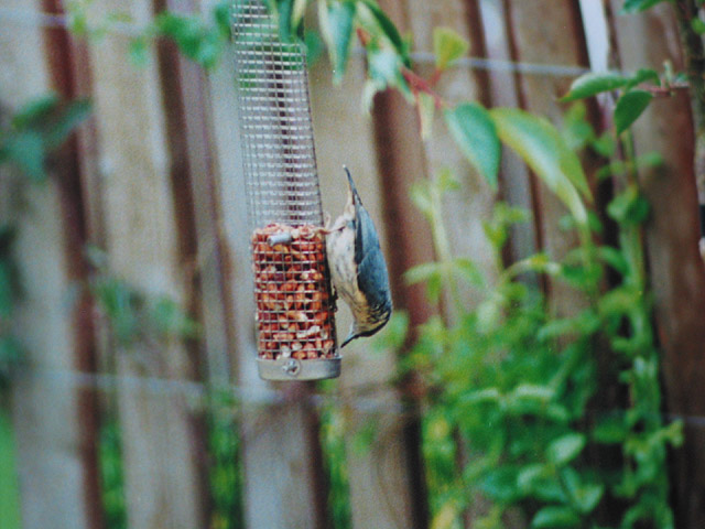Nuthatch - Sitta europaea, doing what comes naturally