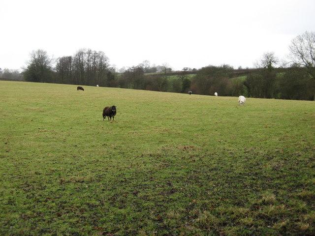 Sheep and Pasture