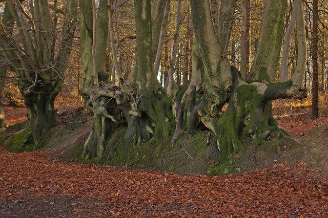 Overgrown beech hedge (1)