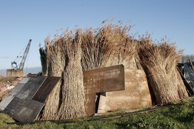 Reeds drying