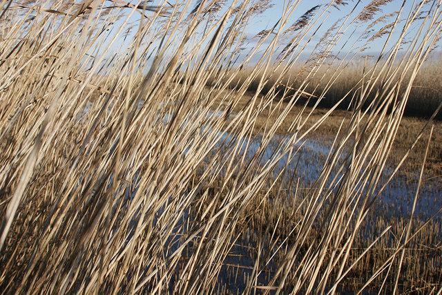 Cut reed bed beside River Waveney