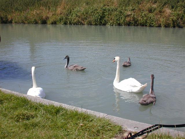 Swans and cygnets at Crofton