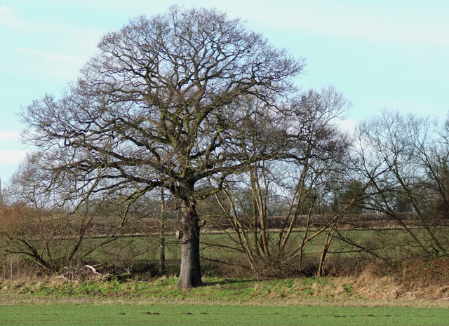 Oak Tree in Farmland, near Ashwood, Staffordshire