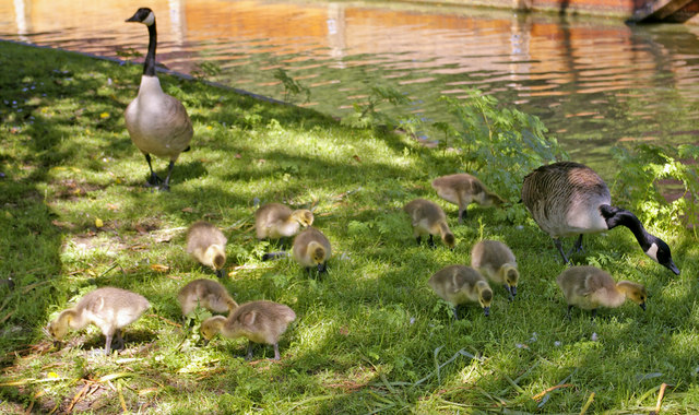 Canada Geese (Branta canadensis) with goslings