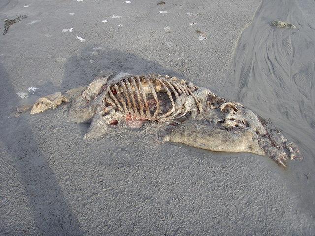 Dead seal at Lùib Bhàn