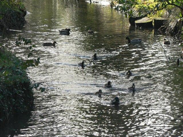 Poole: ducks on Coy Pond
