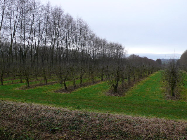 Apple orchard at North Perrott, Somerset