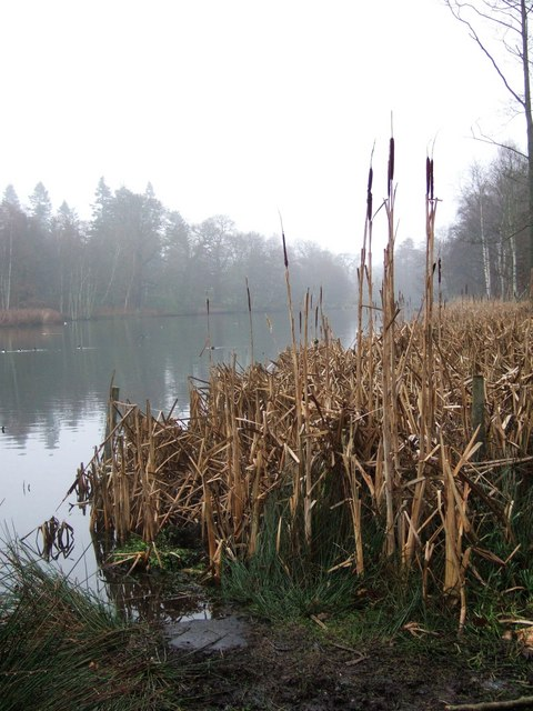 Bulrushes by Clumber Lake