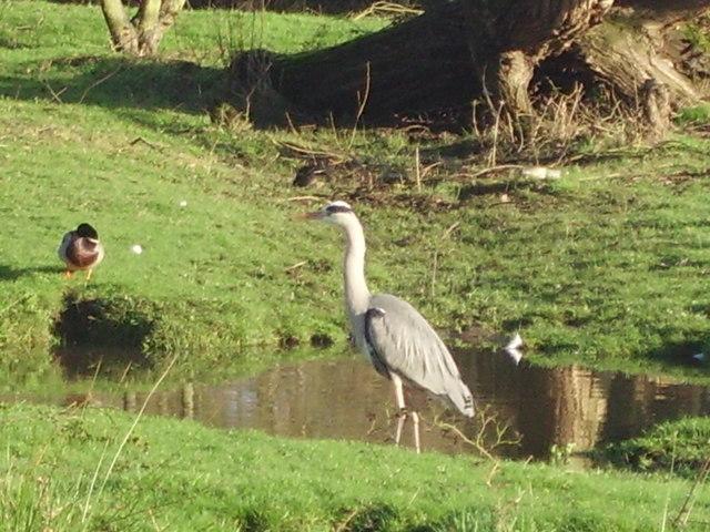 Heron in Shepherds Meadows