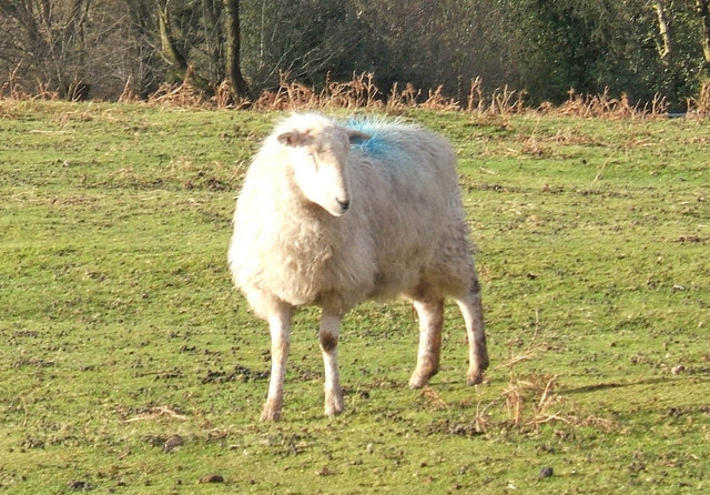 Clee Liberty Common sheep contemplates their next move