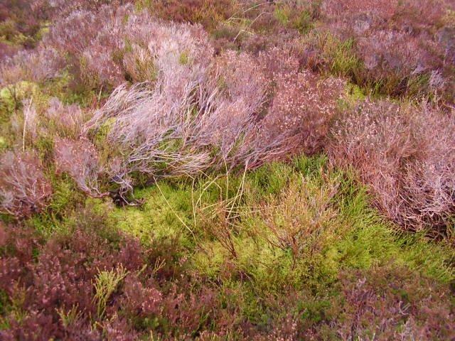 Heath ground-cover