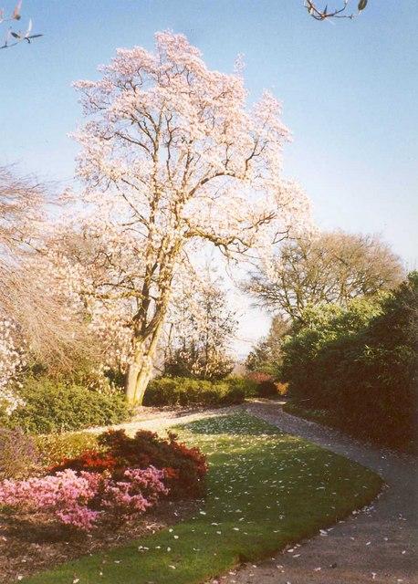 Magnolia in bloom, Lanhydrock